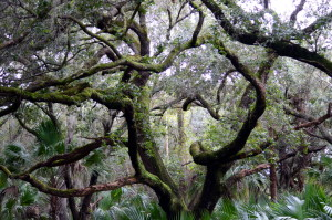 oakhammock_trees